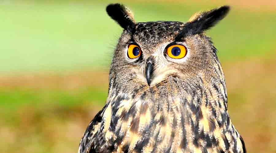 What is the secret race to adopt Owls on Diwali